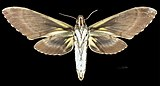Amphonyx lucifer MHNT CUT 2010 0 67 Itatiaia National Park female ventral.jpg