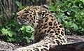 Amur Leopard (46872838254).jpg