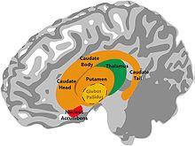 Basal ganglia - Wikipedia