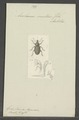 Anchonus - Print - Iconographia Zoologica - Special Collections University of Amsterdam - UBAINV0274 029 03 0030.tif