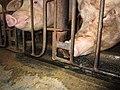 Animal Cruelty Iowa Select Farms IS 2011-05-28 20 (5840780755).jpg