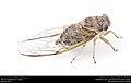 Annual cicada (Cicadidae, Neotibicen sp.) (29010537425).jpg