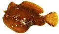 Antennarius pauciradiatus - pone.0010676.g028.png