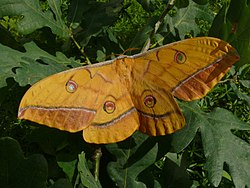 Antheraea yamamai - female 1 (HS).jpg