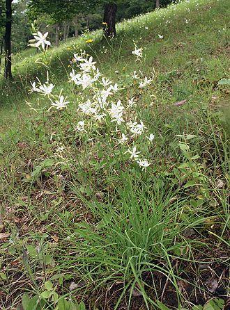 Anthericum - St. Bernard's lily, Anthericum ramosum