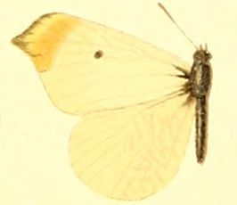Anthocharis limonea.JPG