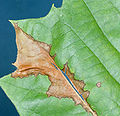 Apiognomonia veneta leaf.JPG