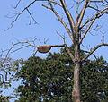 Apis dorsata bees on a Bombax ceiba tree.jpg