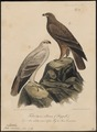 Aquila naevioides - 1835 - Print - Iconographia Zoologica - Special Collections University of Amsterdam - UBA01 IZ18100195.tif