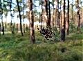 Araneae, Notec Forest.jpg