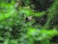 Aranha - Nephila clavipes.jpg