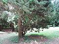 Arboretum des Barres - Juniperus chinensis.jpg