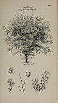 Arboretum et fruticetum britannicum, or - The trees and shrubs of Britain, native and foreign, hardy and half-hardy, pictorially and botanically delineated, and scientifically and popularly described (14597211170).jpg