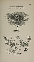Arboretum et fruticetum britannicum, or - The trees and shrubs of Britain, native and foreign, hardy and half-hardy, pictorially and botanically delineated, and scientifically and popularly described (14597227480).jpg