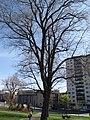 Arbre magnifique (en avril), rue Sherbrooke vu du Parc Lafontaine, Montréal - panoramio.jpg
