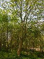 Arbres et arbustes non-identifiés à Grez-Doiceau 005.jpg