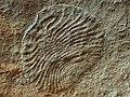 Archaeaspinus fedonkini.jpg