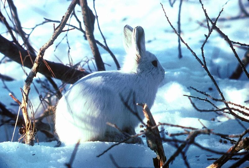 Image title: Arctic hare in snow and bushes lepus arcticus Image from Public domain images website, http://www.public-domain-image.com/full-image/fauna-animals-public-domain-images-pictures/bunny-rabbit-public-domain-images-pictures/arctic-hare-in-snow-and-bushes-lepus-arcticus.jpg.html