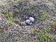 photographie d'un nid de sternes comportant deux œufs. Le nid consiste en un creux dans une surface couverte de mousse, les œufs sont bruns et mouchetés de taches plus foncées