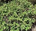 Arctostaphylos confertiflora 1.jpg
