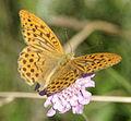 Argynnis paphia-3.jpg