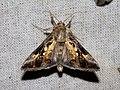 Argyrogramma signata (Noctuidae- Plusiinae- Argyrogrammatini) (27218054916).jpg