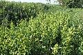 Aristolochia clematitis kz05.jpg