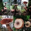 Armillaria bulbosa (GB= Bulbous Honey Fun, D= Knolliger Hallimasch, F= Armillaire bulbeuse, NL= Knolhoningzwam) at NP Hoge Veluwe - panoramio.jpg