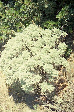 Artemisia arborescens - Image: Artemisia arborescens in north western Sardinia