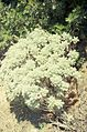 Artemisia arborescens in north western Sardinia..jpg