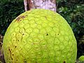 Artocarpus altilis - Flickr - Dick Culbert.jpg