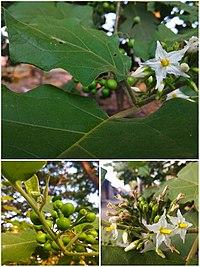 Arya - Solanum torvum collage 2019.jpg