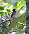 Asian Paradise Flycatcher- Female in Kerala.jpg