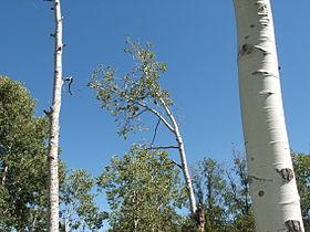 Aspen (Populus tremuloides) 03.jpg