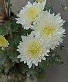 Aster-flower.jpg