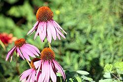 Asteraceae IMG 7674.JPG