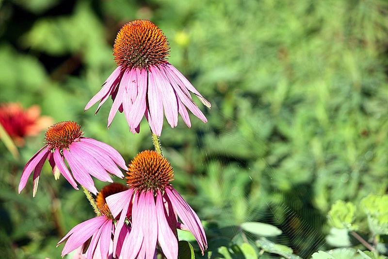 File:Asteraceae IMG 7674.JPG