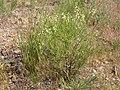Astragalus filipes (3848561903).jpg