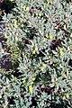 Astragalus lasiosemius (Fabaceae) (27824071601).jpg