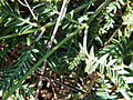 Astragalus onobrychis in Laspi2.jpg