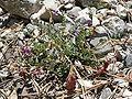 Astragalus oophorus var clokeyanus 3.jpg