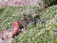 Astragalus platytropis.jpg