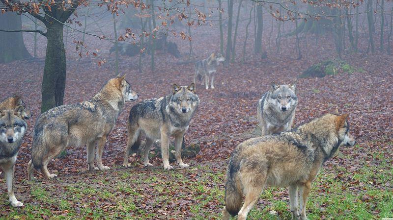 Datei:Aufgeregte Wölfe.JPG