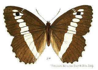 <i>Aulocera saraswati</i> species of insect