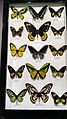 Australian Butterfly Sanctuary - specimens 10.jpg
