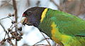 Australian ringneck head 0235.jpg