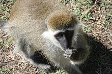 http://upload.wikimedia.org/wikipedia/commons/thumb/5/56/AwasaVervet.jpg/220px-AwasaVervet.jpg
