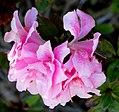 Azalea -- Rhododendron.jpg