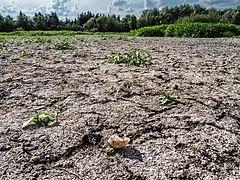 Börstig Schneckengehäuse im ausgetrockneten Teich 8097507.jpg