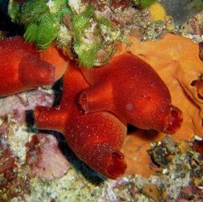 Rote Seescheide (Halocynthia papillosa)
